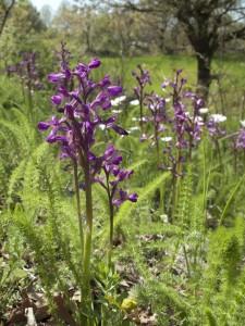 7.23.13 susanne masters. wild orchids Turkey