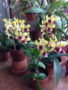 Daria's Happy Orchids after worm tea