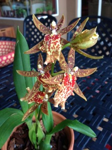 Daria's Orchids after Our Vital Earth Worm Tea