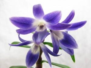 Dendrobium victoria-reginae