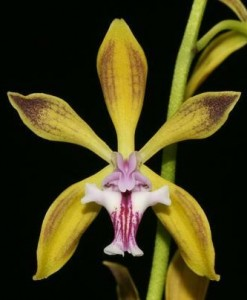 Encyclia Care