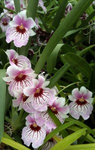 Miltoniopsis Care
