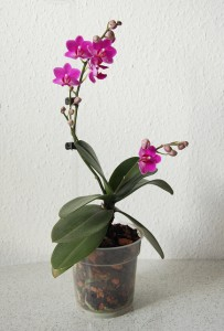 How Do You Get Multiple Orchid Bloom Stems