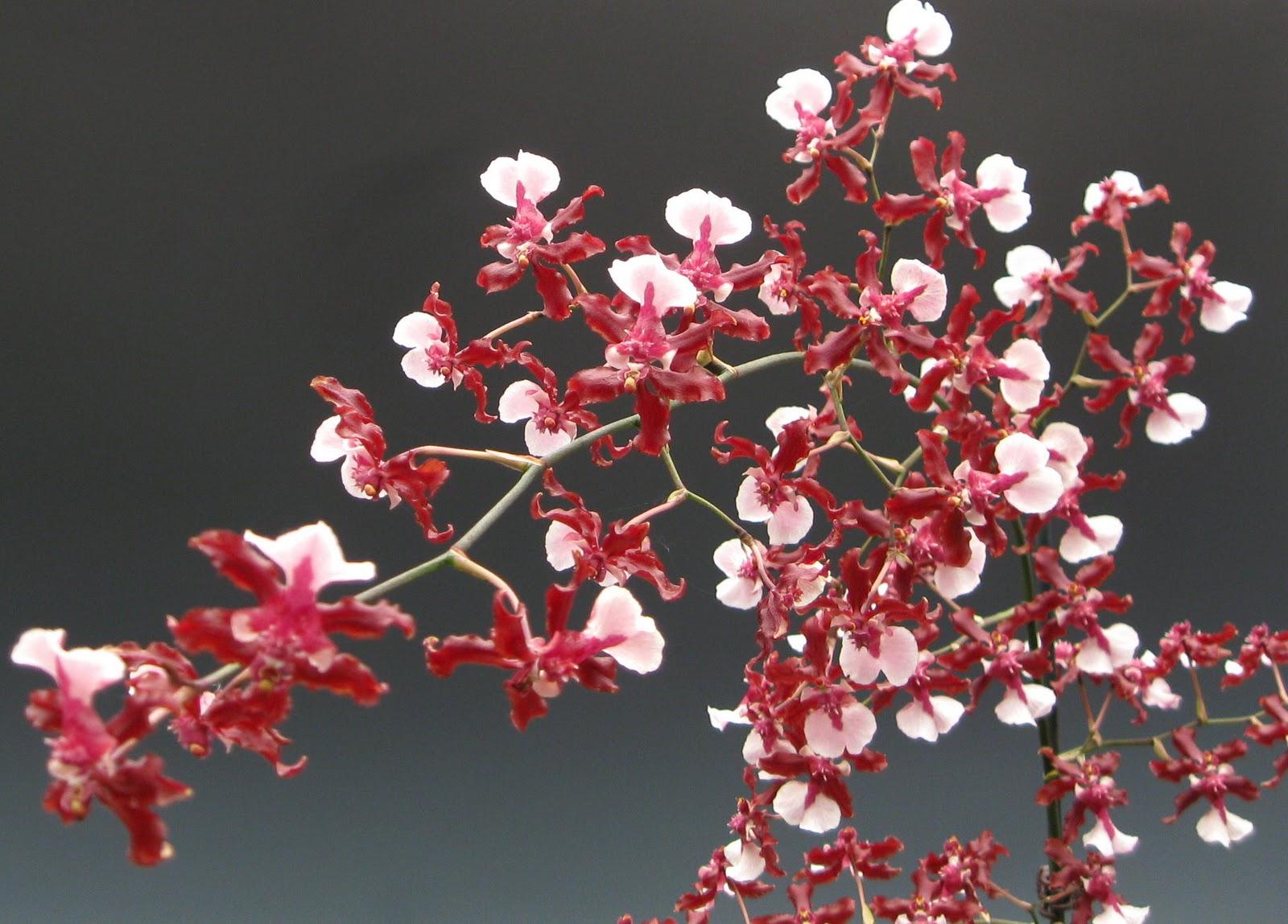 Oncidium Orchid Care I Www Orchidsmadeeasy Com