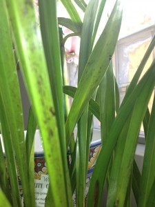 Cymbidium-Leaf-Spots