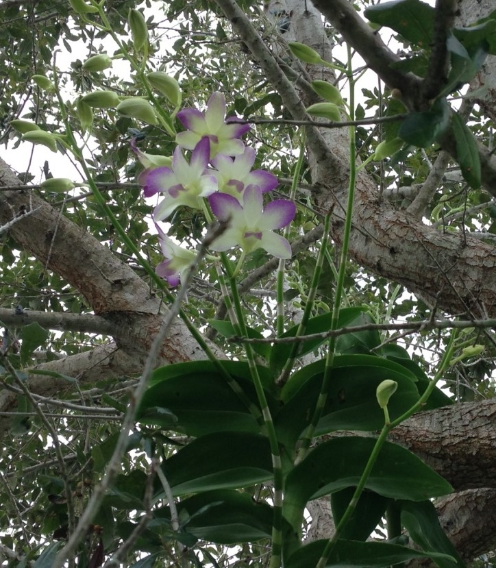 How Tall Will My Outside Orchid Grow Orchidsmadeeasy Com