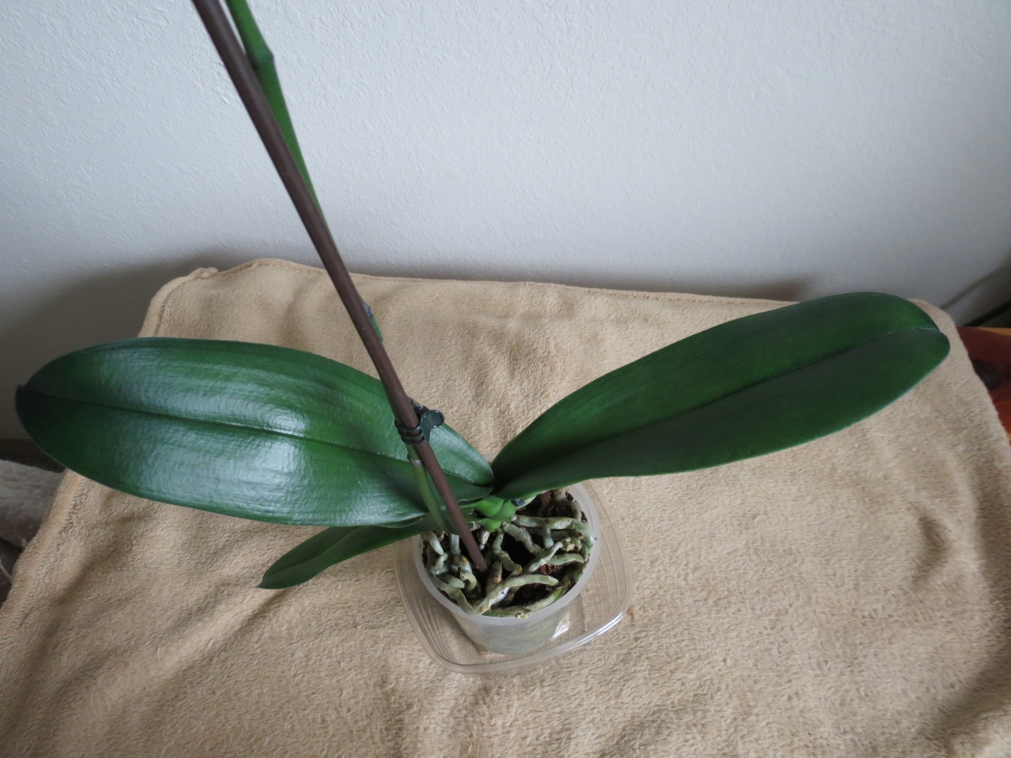 Phalaenopsis Orchid Leaves Different Lengths Different