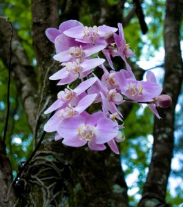 Phalaenopsis Orchid Growing on Tree - Scholarship