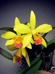 Cattleya sophrolaelio