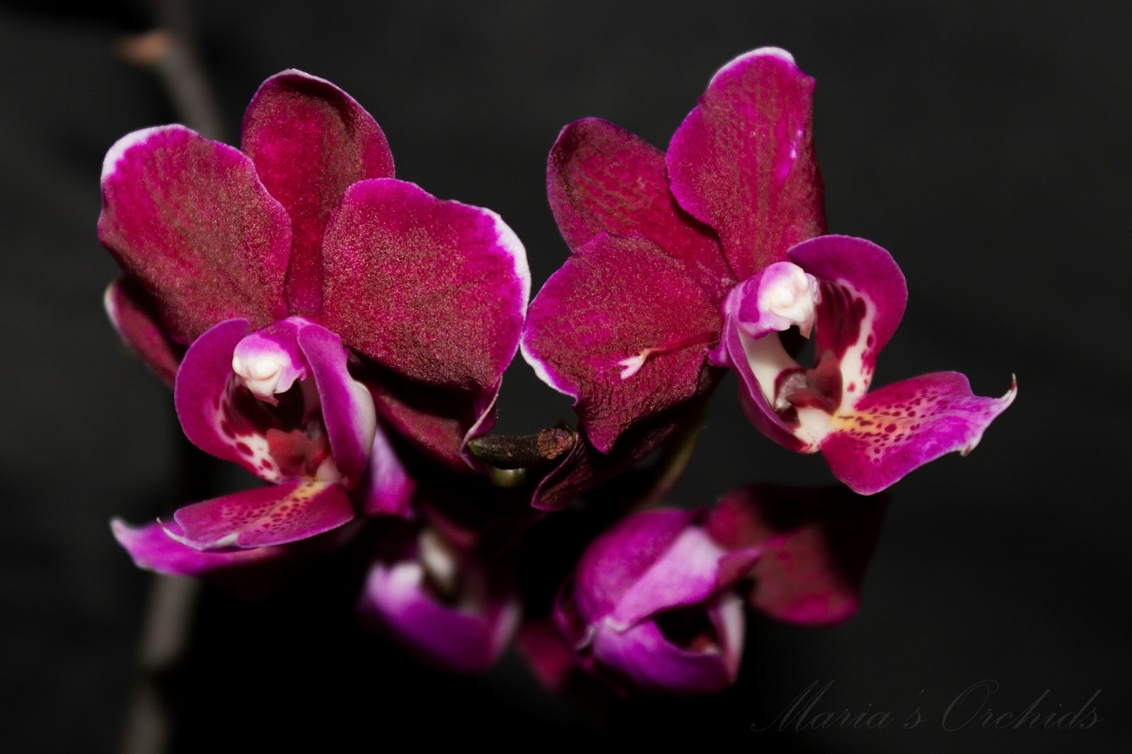 "maria's orchids an orchid ""photo journal""  orchidsmadeeasy, Beautiful flower"