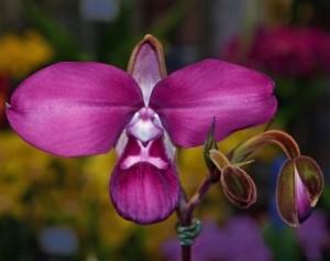 Phragmipedium kovachii orchid