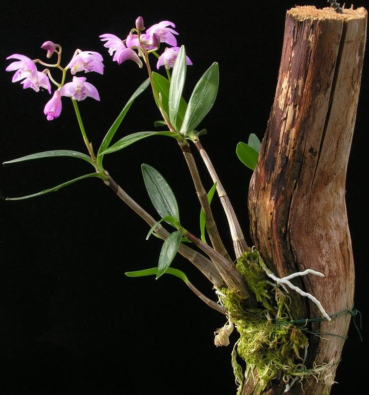 Mounting Orchids I Www Orchidsmadeeasy Com