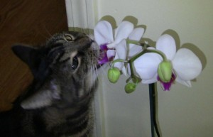 orchids toxic to pets