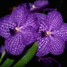66041c2fb8f54e A Vanda orchid should be watered in the morning using tepid water. This  will give the orchid adequate time to let the roots dry before the next  watering.